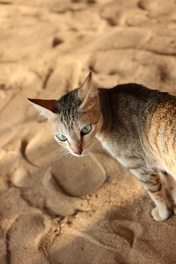 Kot_goa