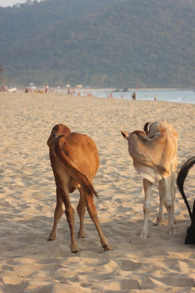 krowy_indie_na_plaży