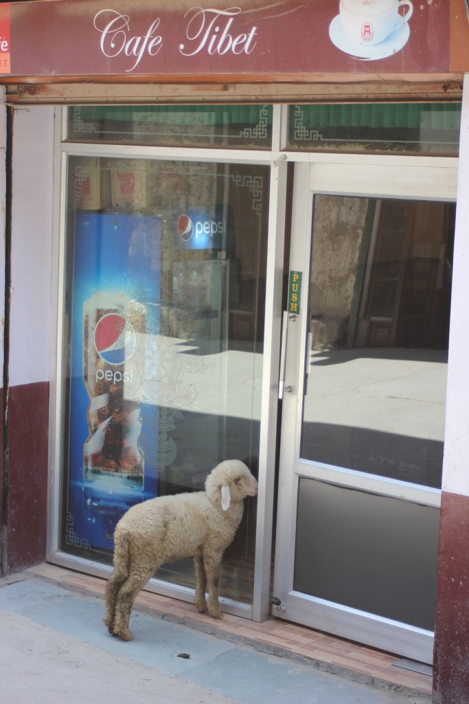 owieczka_kawiarnia_kawa-owca_dharamsala