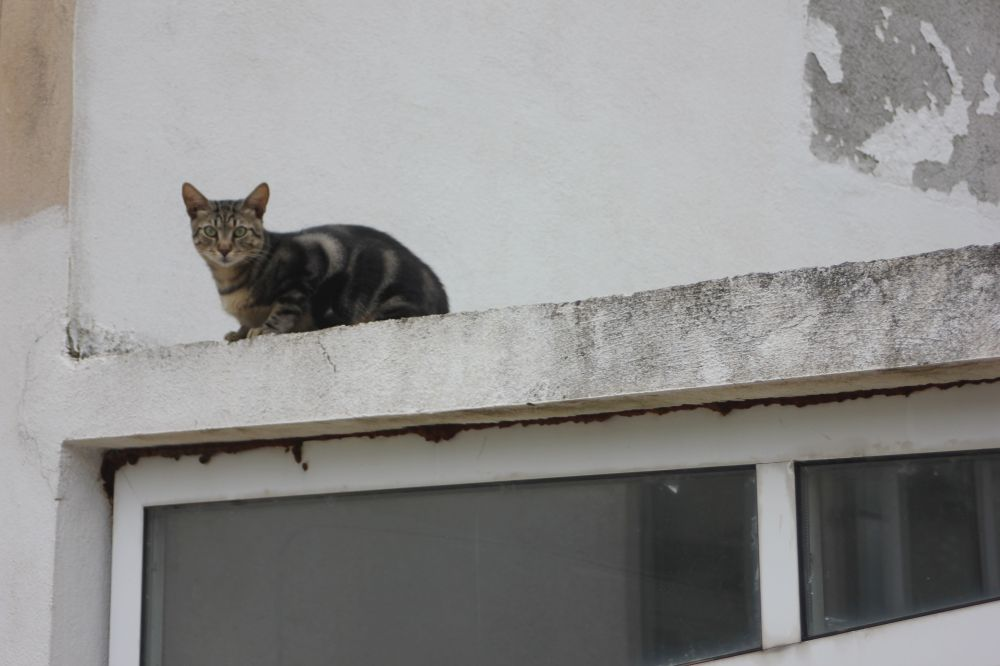 kot_chorwacja_szary_kot_na_gorącym_dachu