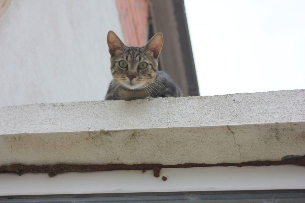kot_chorwacja_szary_kot_na_gorącym_dachu_oczy_patrzy