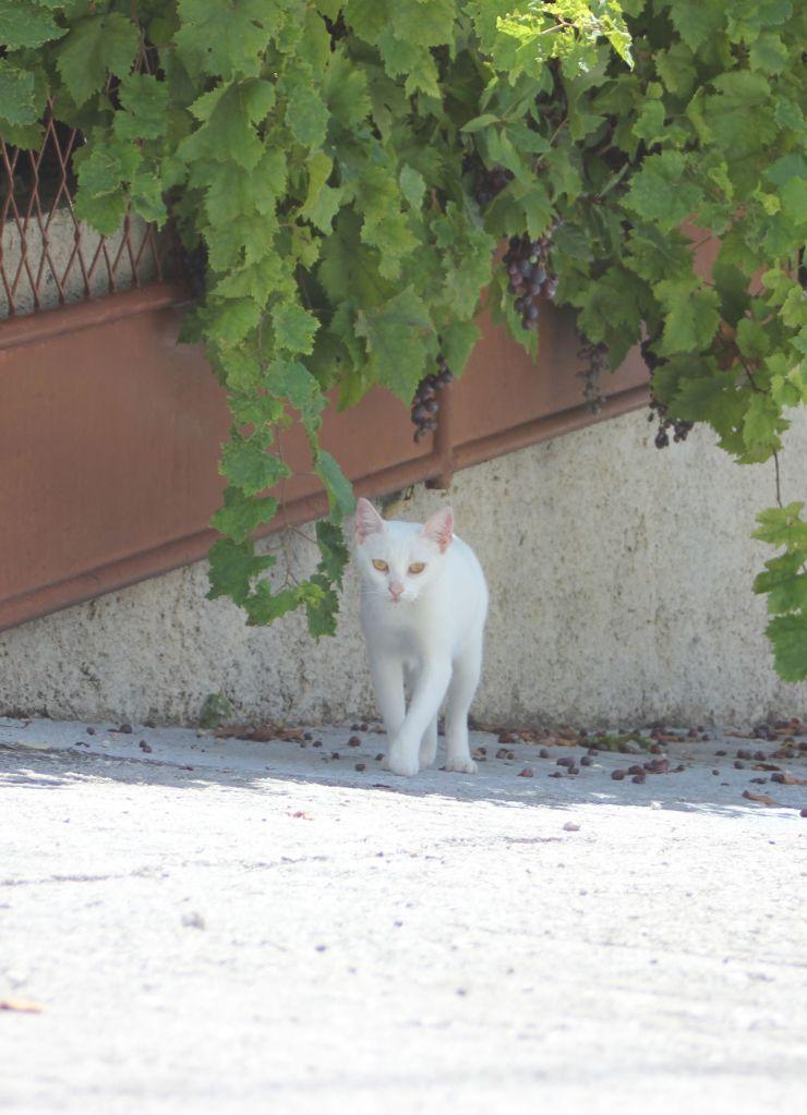 biały_kot_chorwacja_winogrona