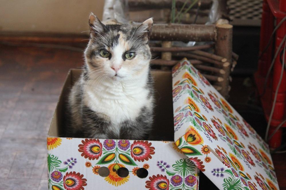 kot_W_pudełku_szylkret_biały_wąsy_oczy_uszy_fizia_cat_in_The_box