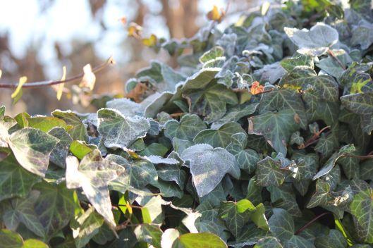 bluszcz_szron_jesień_zima_przyroda_ogród