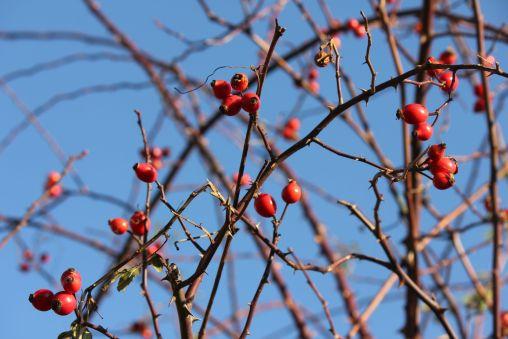 róża_niebo_czerwona_jesień_krzew