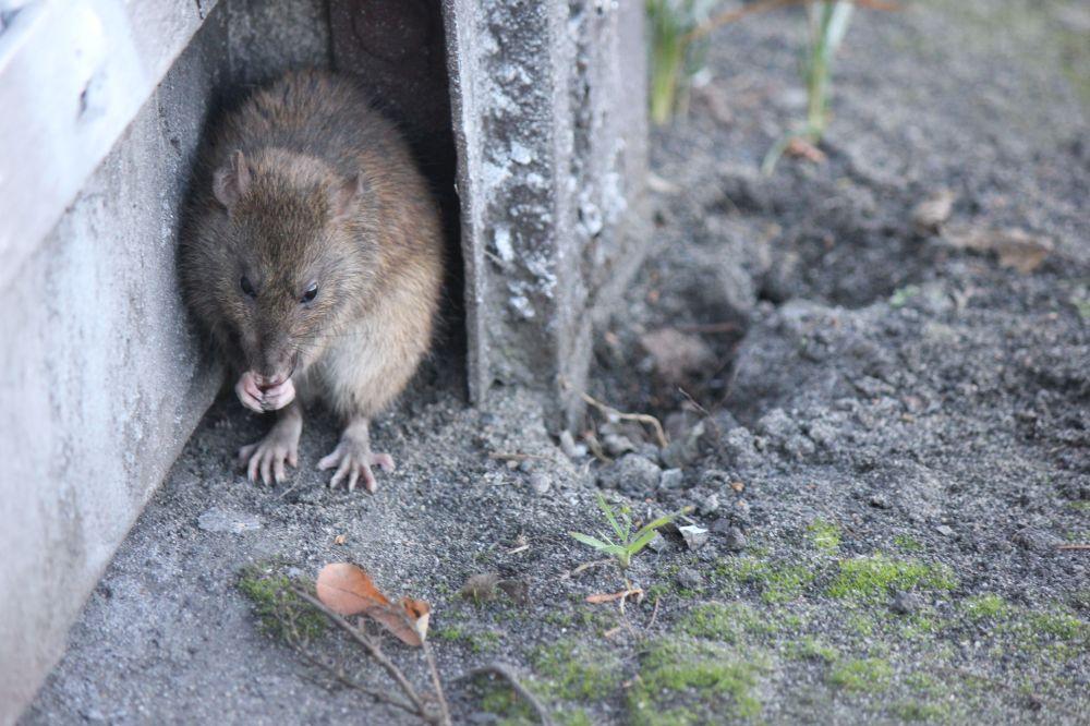 szczur_mysz_łapki_myje_się