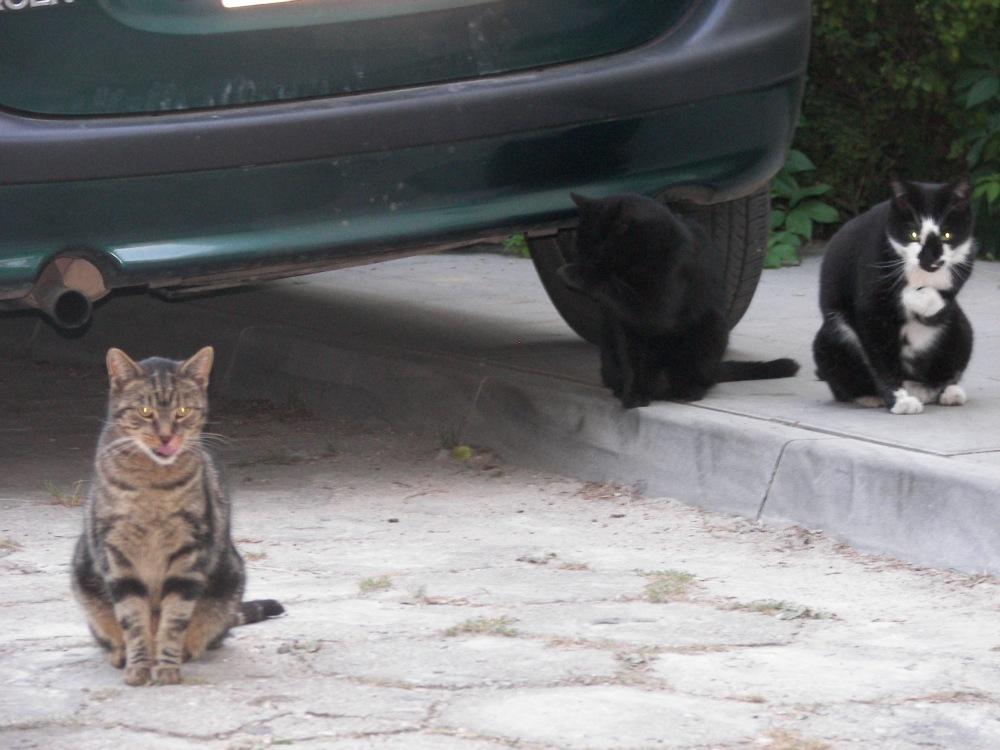 trzy_koty_szary_kot_czarny_łaciaty_liżą_łapy_2009