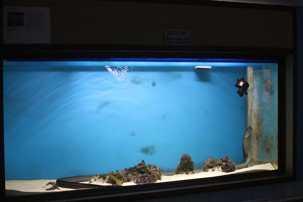węgorz_akwarium_aquarium_oceanarium_karwar_karnataka_smutny_długi_okrutne_czarny