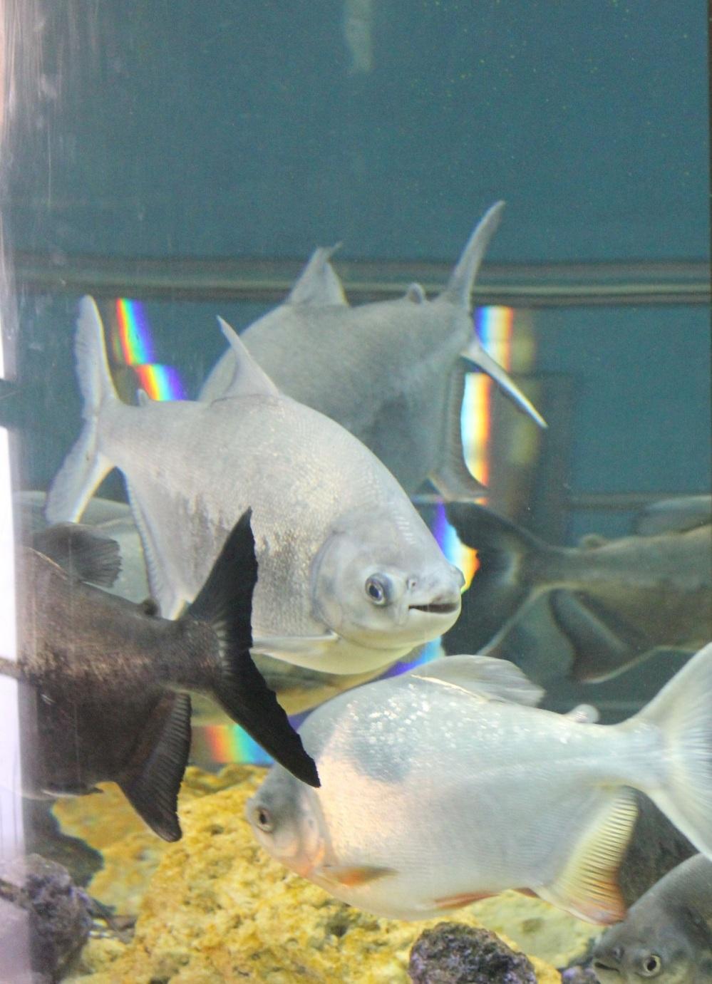 piranie_wesołe_groźne_uśmiechnięte_indie_karnataka_karwar_aquarium_oceanarium
