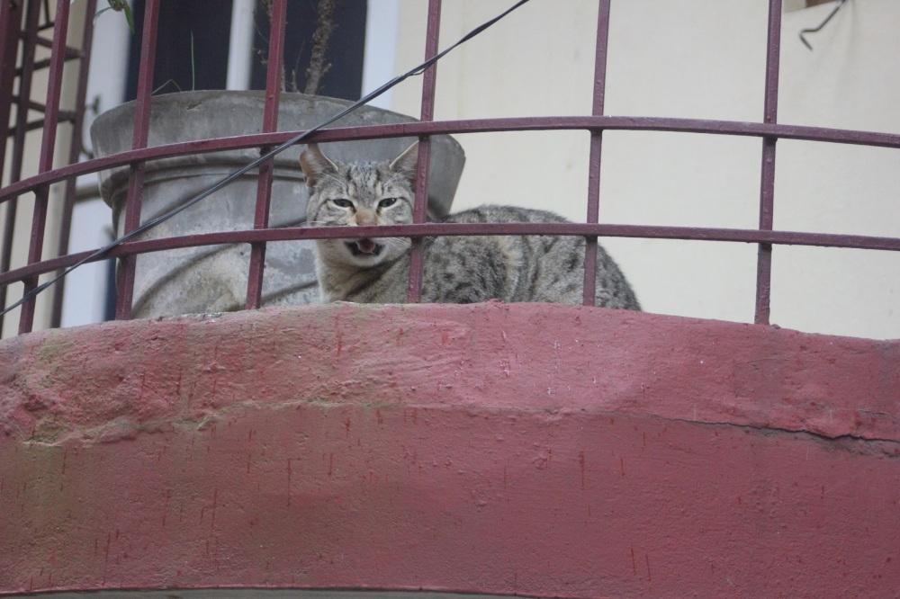 kot_Szary_balkon_miauczy