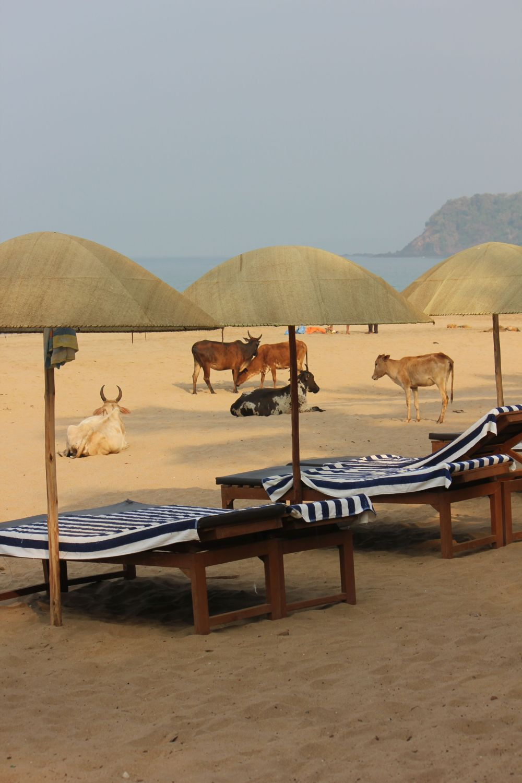 Krowy_plaża_indie_krowy_na-plaży_parasol_goa_leżaki