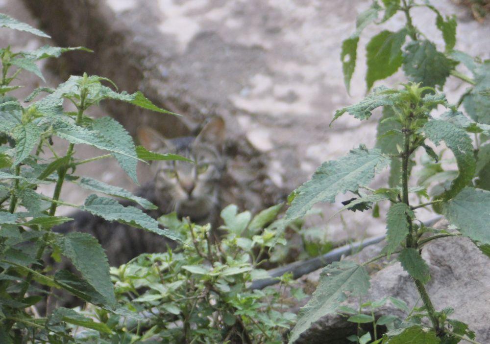kot w pokrzywach_zielone_oczy_rośliny_kamienie_Szary
