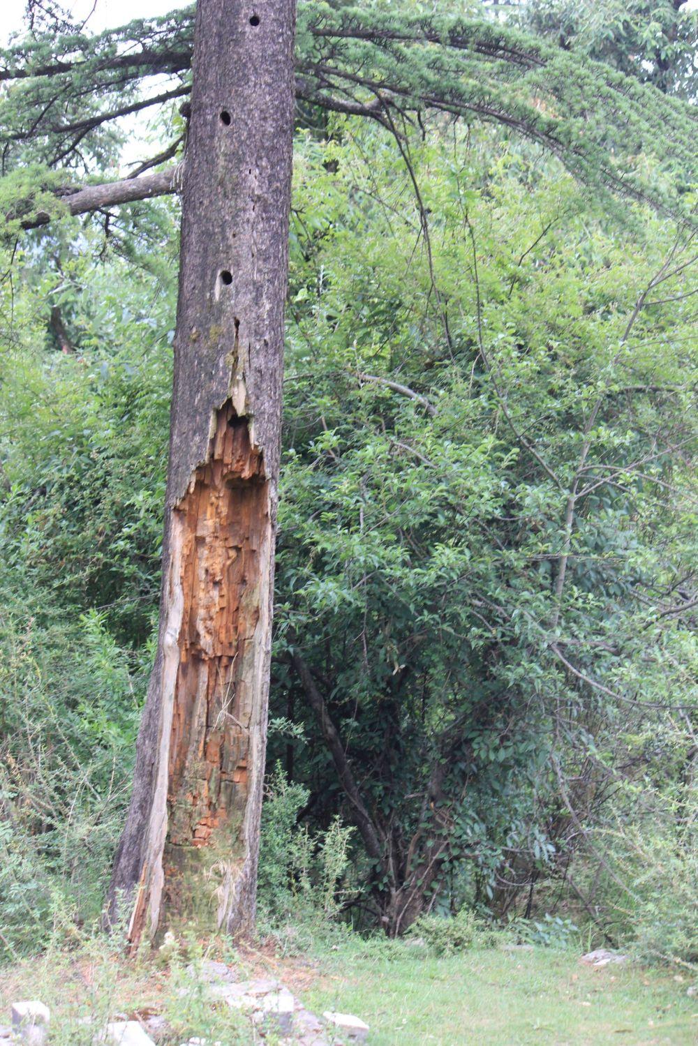 drzewo_piorun_dziwne_dziury_próchno_spruchniałe