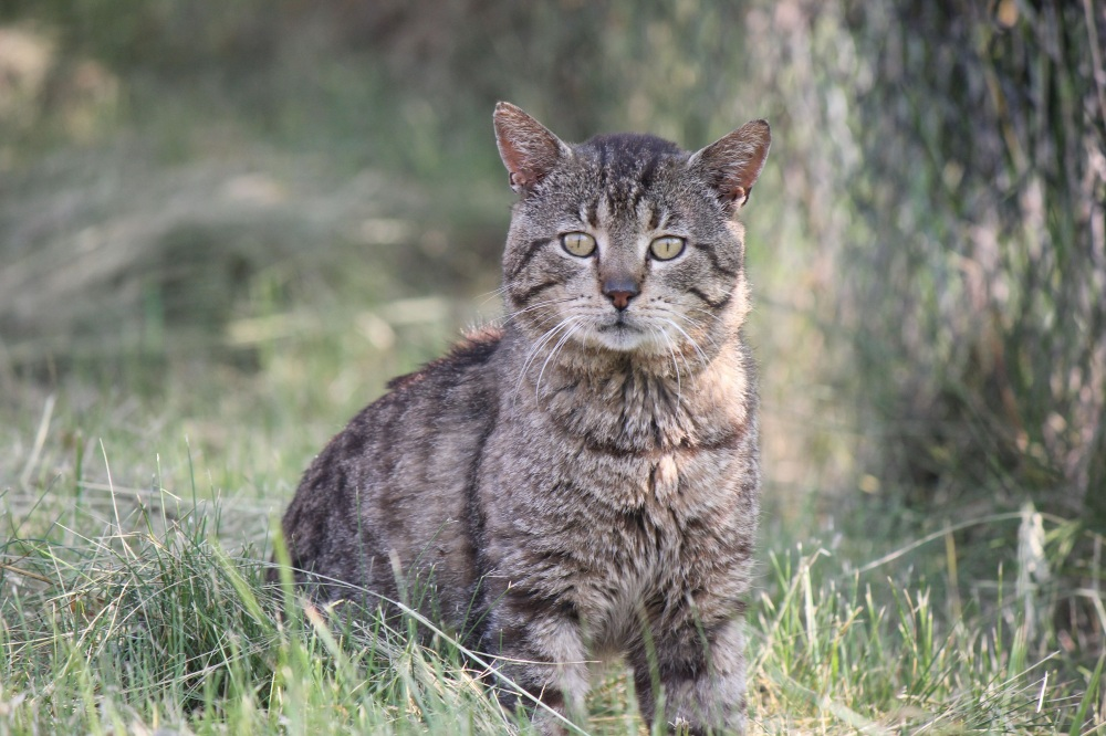 kot_żółte_oczy_portret_dziki