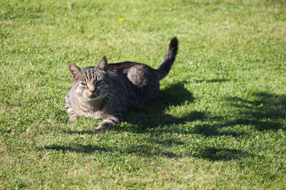 kot_w_trawie_happy_cat_zadowolony_kot_uśmiechnięty_kot_leżący_kot_kot_na_słońcu1