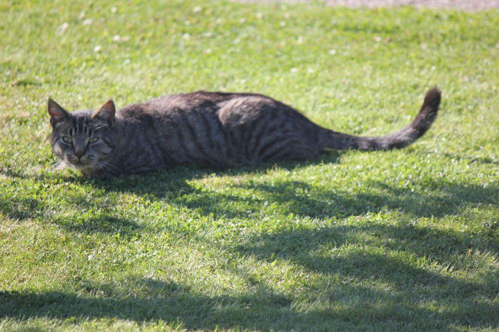 kot_w_trawie_happy_cat_zadowolony_kot_uśmiechnięty_kot_leżący_kot_kot_na_słońcu