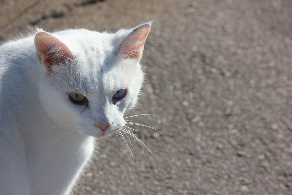 biały_kot_jedni_oko_niebieskie_drugie_zielone_white_cat_blue_green_eyes_two_diferent