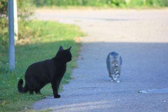 dwa_koty_spotkanie_kocia_walka_walczące_koty