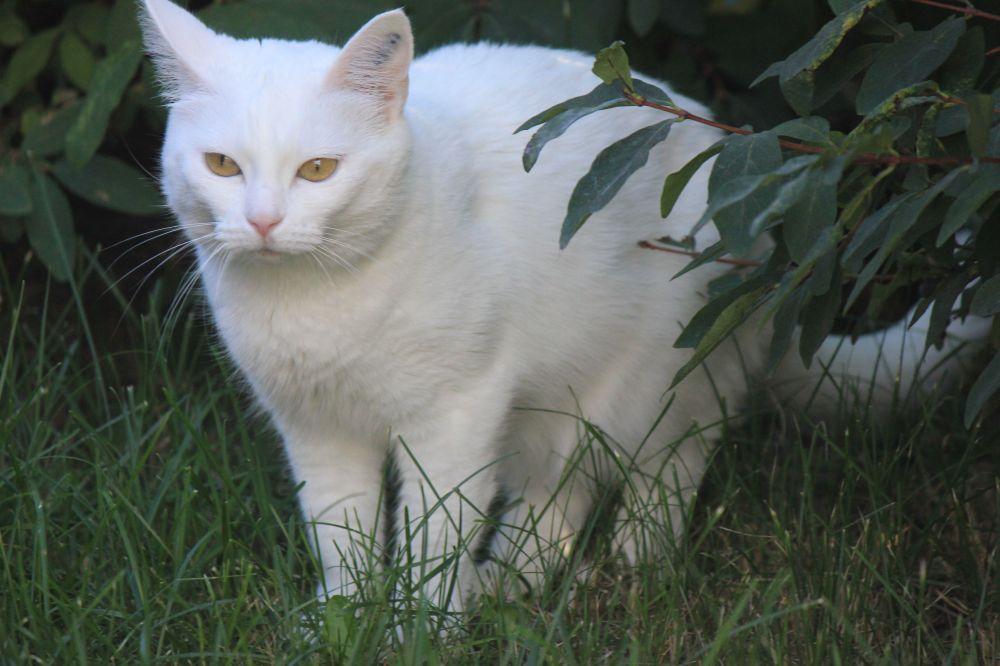 biały_kot_złote_oczy_bursztynowe_oczy__brązowe_oczy_kot_z_bursztynowymi_oczami
