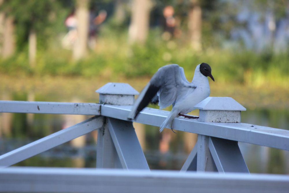 mewa_rybitwa_szwecja_jezioro_skrzydła_biały_ptak_czarna_głowa