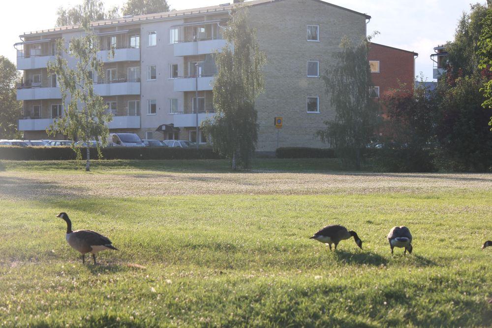 gęsi_w_mieście_szwecja_bloki