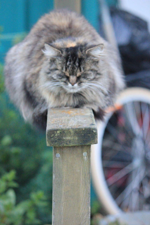 kot_na_płocie_równowaga_szwecja_kot_na_poręczy_balustradzie_puchaty_duży_kot_śpi