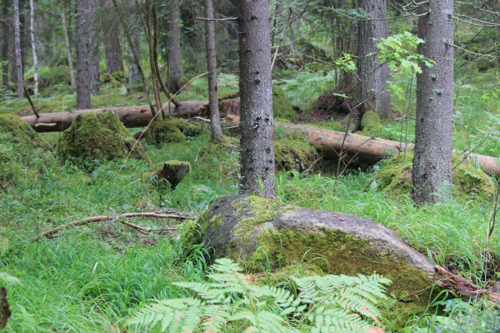 dziki_las_puszcza_szwecja_drzewa