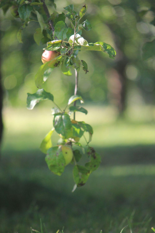 jabłoń_sad_jabłko