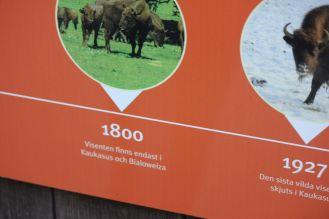Polskie żubr z puszczy białowieskiej w Szwecji w zoo