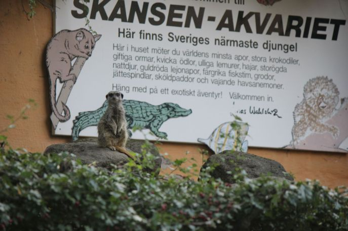 surykatka_Szwecja_brzydkie_obrazki_skansen