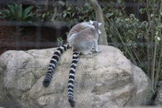 lemury_przytulone_ładne_śmieszne