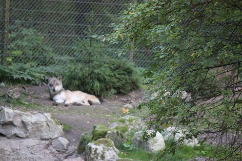 Wilk_zoo_skansen_szwecja