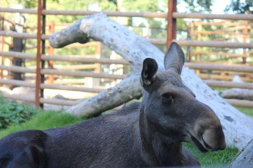 uśmiechnięty łoś w szwedzkim zoo