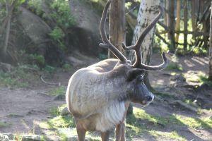 Skansen i Zoo w Sztokholmie renifer