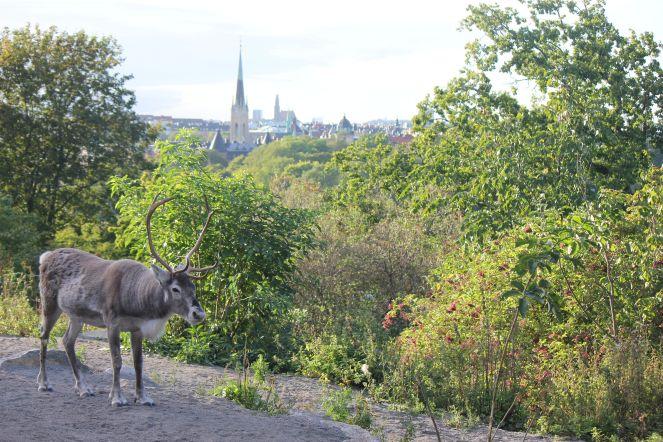sztokholm_panorama_renifer_jak_Wygląda_rogi