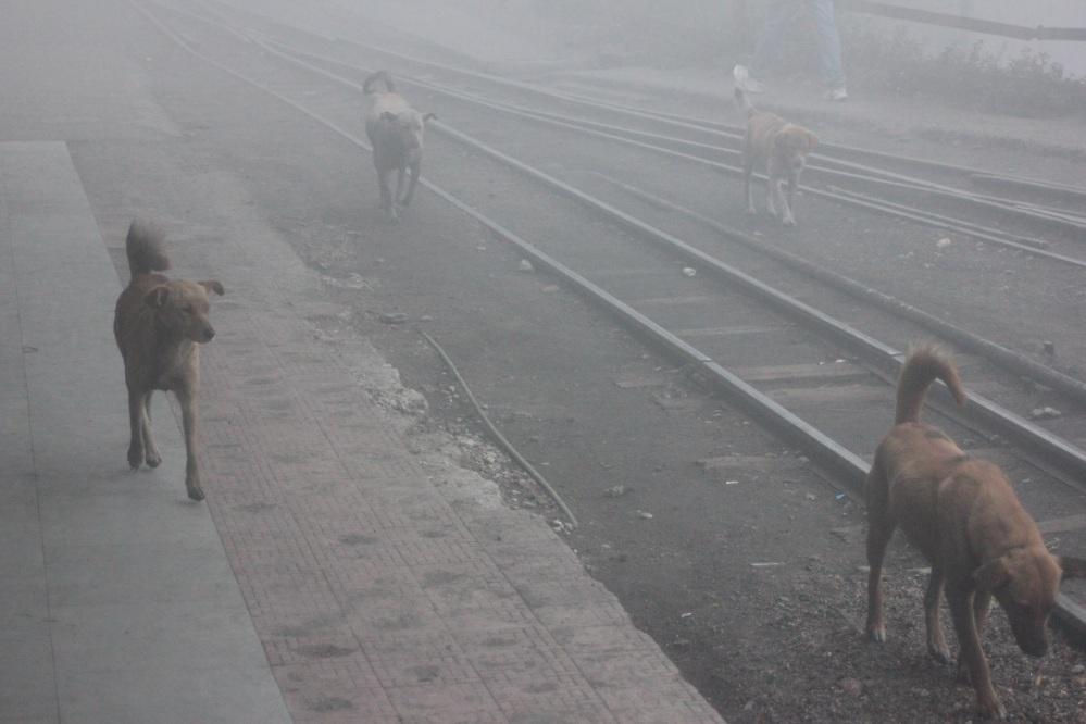 dzikie_psy_indie_darjeeling_kolej_w_indiach_psy_w_indiach_indyjski_pies