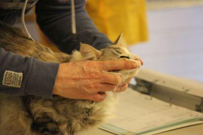 Sprawdzanie pyska kotów na wystawie kotów norweskich leśnych