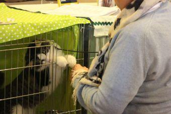 kot rasowy w trakcie wystawy zabawa