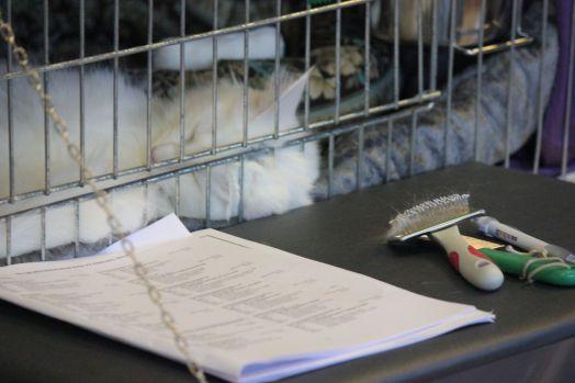 biały kot długowłosy norweski leśny