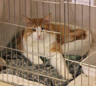 rudy kot w klatce na wystawie kotó norweskich leśnych
