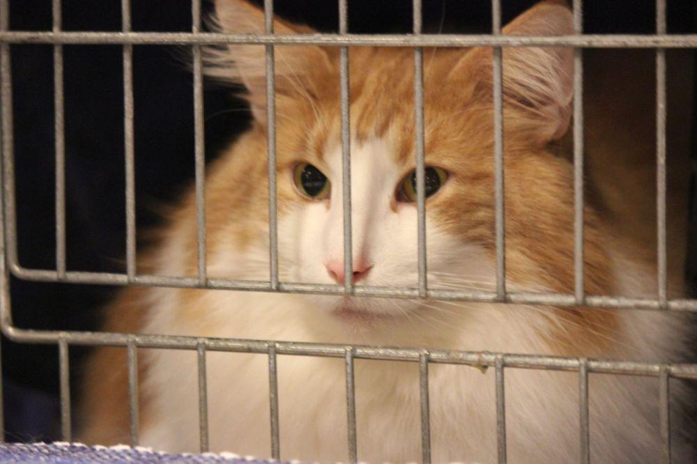 kot norweski leśny rudo bialy w klatce