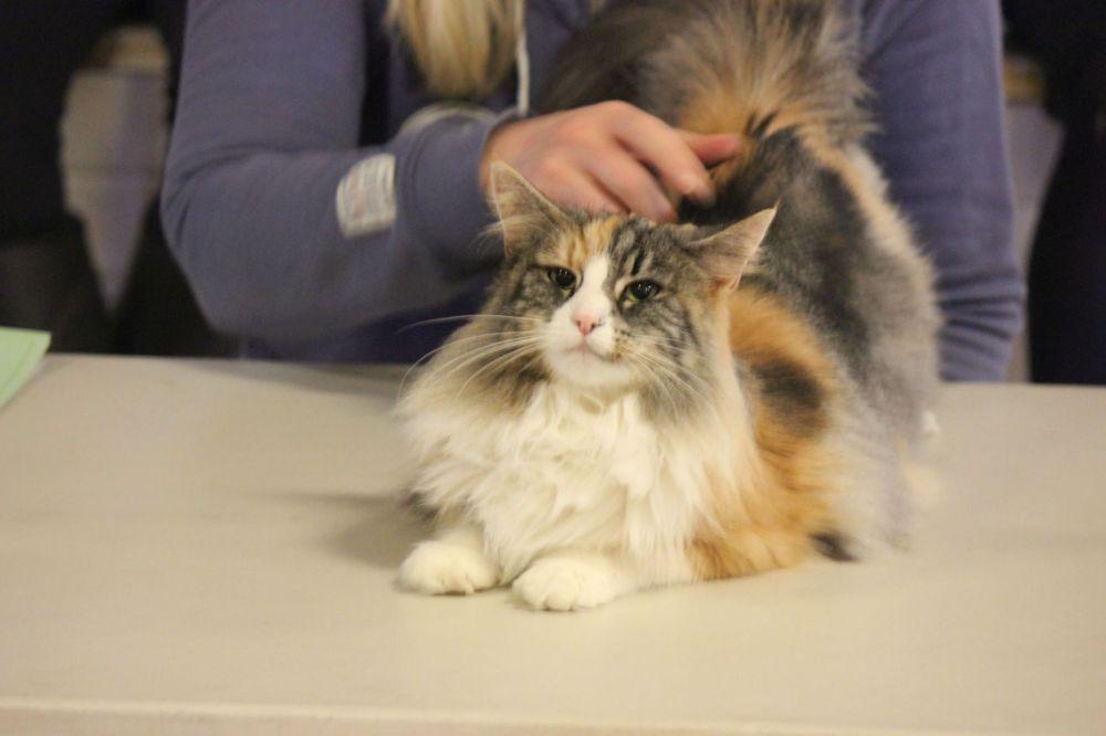 piękny kot tricolor umaszczenie trójkolorowe szylkretowe wystawa