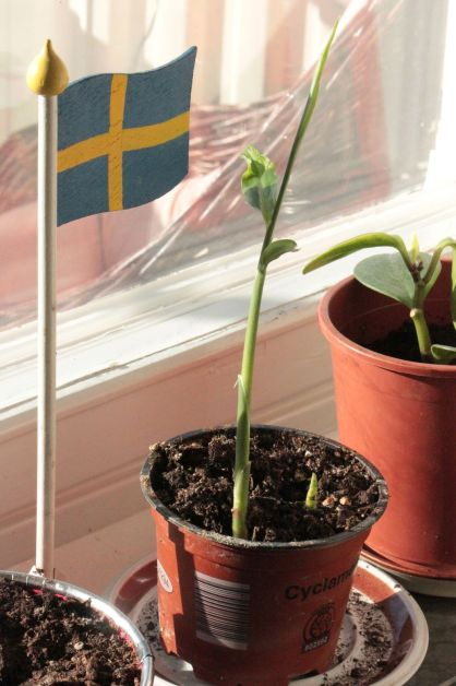 jak sadzić imbir zadzenie imbiru uprawa imbiru z korzenia imbir w doniczce
