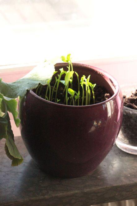 sadzenie cytryny drzewko cytrynowe cytryna z pestek sadzenie cytrusów z pestek cytryna w doniczce