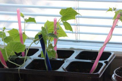 sadzenie ogórków przesadzanie ogórków rozsada nasiona ogórków