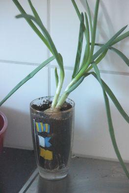 Sadzenie cebuli uprawa cebuli sadzenie szczypiorku w domu w doniczce jak sadzić szczypior