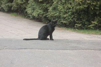 czarny kot zdjęcie kota