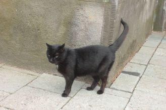 czarny kot podnosi ogon