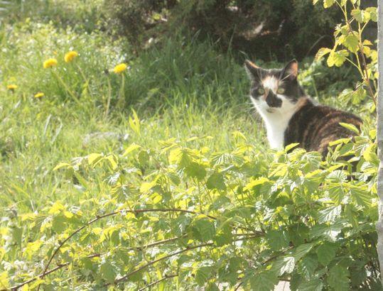 kot szylkretowy tricolore szylkret