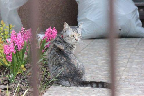 szary kot jak zrobić zdjęcie kota kot w ogródku kot i hiacynty